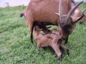chèvre avec ses chevreaux