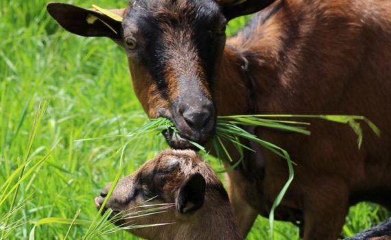 chèvre et son chevreau